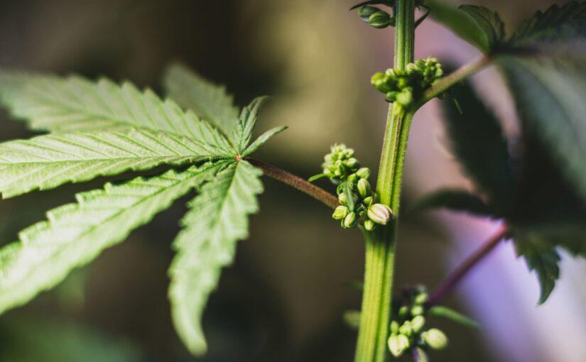 Sexe du cannabis : comment faire la différence plantes masculines et féminines