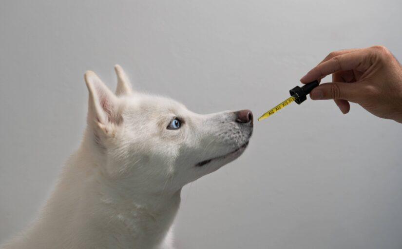 Comment le CBD peut aider à traiter les problèmes de digestion chez les chiens ?